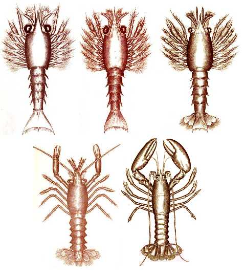 Five Stages of Lobster - Copyright Stan Klos