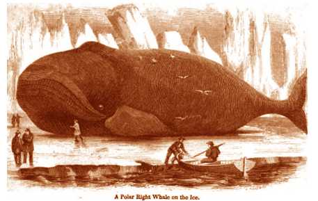 Right Whale Copyright Stan Klos
