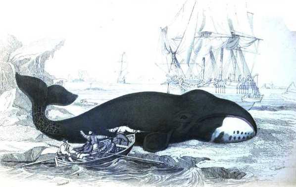 Bowhead Whale copyright Stan Klos