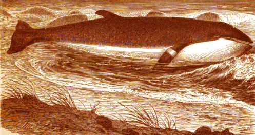 Fin Whale Beached  Copyright Stan Klos