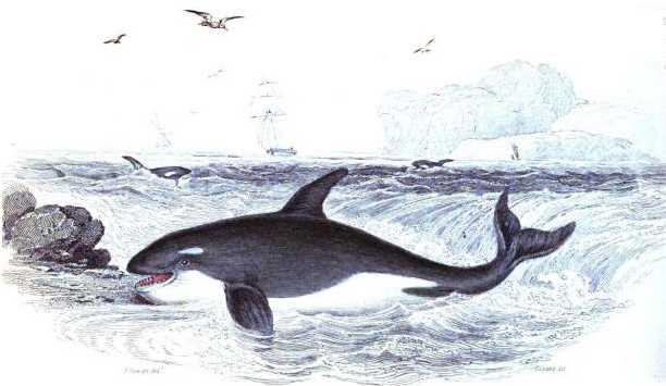 Orca Killer Whale copyright Stan Klos