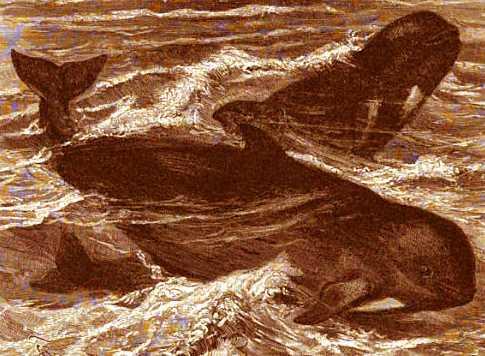 The Pilot Whale - BlackFish Copyright Stan Klos
