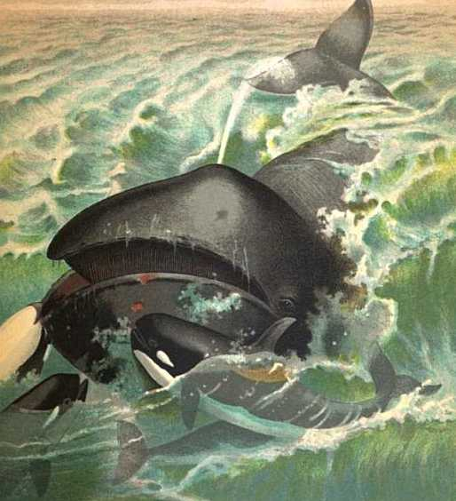 Right-Whales  Genus Balcena - Orca Copyright Stan Klos