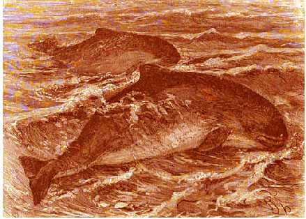 Porpoises.  Genus Phoccena.  Copyright Stan Klos